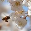 日本 サクランボの花