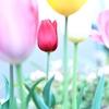 桜もいいけど、菜の花もきれいだけど、やっぱりわたしはチューリップが好き。きっかけはキューケンホフ公園!
