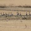 飛び立って旋回するオオヒシクイの群れ