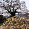 醍醐桜:29日お昼ころは「咲き始め」