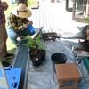 ブルーベリー鉢上げ作業 ブラシの木の花
