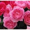 またまた🌹薔薇苗が届きました