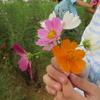 神原町花の会(花美原会)(283)      コスモス畑の花摘みは月末まで