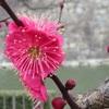 梅は香りを愉しむ。
