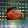 アカハラヤッコ 4-6cm±! 海水魚 ヤッコ 【PHセール対象】【ヤッコ】
