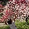 GWに見ごろを迎える花桃の里