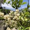 南天の白い花の花言葉。素敵すぎます。