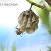 セグロアシナガバチの巣作り