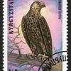 キルギス共和国 セーカーハヤブサ 140トゥイン