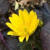 フクジュソウの開花