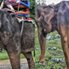 一日中,観光客を乗せるためにやつれた老齢の象