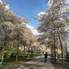 ロンドンの桜。春が最高に気持ち良いロンドンです。