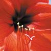 今日の誕生花「アマリリス」名前が同じでも原産が違う花がある!