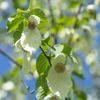 青空に白:ハンカチの木に花