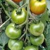 6/21 トマトと大根とメロンは家庭で作ってください、イチゴじゃなくて