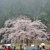 岐阜県へ、雨にけむる薄墨桜に会いに行く