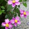 ミモザ・ガーデンの日記 庭園の花たち