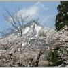 白い磐梯山をバックに桜の花びら舞う亀ヶ城!