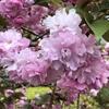 花咲く日を願ってー5;世界に例がない????!!!!