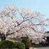 夜半の嵐に舞う桜