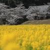 京田辺市「観音寺」菜の花と桜 2019