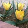 黄色いチューリップ、ブライト ジェムの開花
