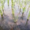 稲の無肥料栽培を実践している人が近くにいます