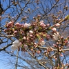 桜開花。ガム君の近況