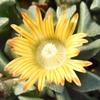 メセンの花6