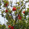 今年もザクロの赤い花咲く