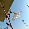 春分の日、富士桜が開花である