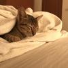 【猫天国】タイのサムイ島で可愛すぎる子猫を拾ってきた話【僕と4匹の猫】