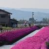 砺波の春の新名所@新屋敷の芝桜