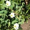 冬萌えの中に蕾みも寡婦の庭