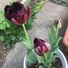 2種類のチューリップが咲きました😄