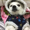 ちわわとポメラニアンのMIX   とっても賢い可愛い小型犬です❤️