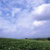 美瑛の丘は白い花畑