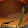 タウナギ Monopterus albus