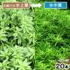 (水草)ベトナムゴマノハグサ(水上葉)(無農薬)(20本) 北海道航空便要保温