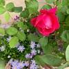 グロワールドゥディジョンルージュとアンジェラ開花