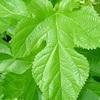糖質制限にギムネマや桑の葉茶は効く?
