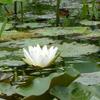 井戸尻湧水群の池で咲く睡蓮