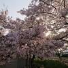 #インスタブログ ~桜を見に行ってきました~
