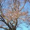 酒津の桜が咲きました