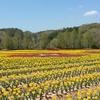 世羅高原農場の花畑風景 NO,4(広島県世羅町)