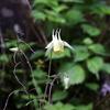 乗鞍高原で見つけた白い花(キバナヤマオダマキ)