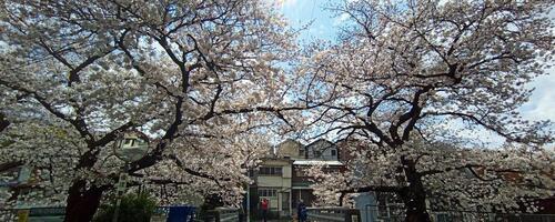 宇治川の桜さん、今年はゴメンね!たくさん写真撮って、ブログ書きたかったけど...