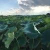 日々ノ事:レンコン畑