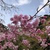 寒いので、まだ桜が満開にならない