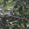クビワヒロハシ(Black-and-yellow Broadbill)